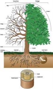 pohon y